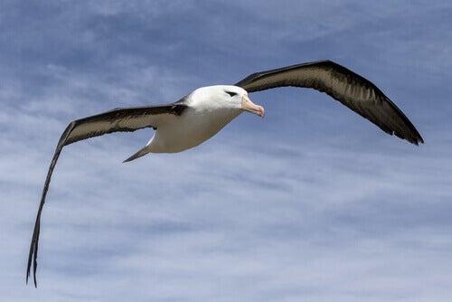 An albatross in flight.
