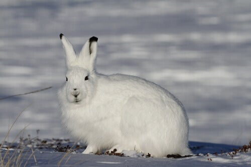 Arctic hare in the snow.
