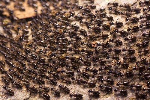 How Much Do You Know about Army Ants?