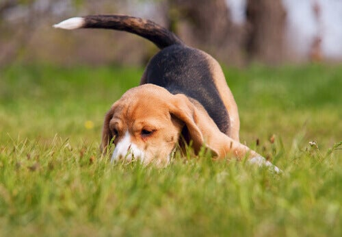 Beagle sniffing.