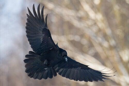 A black crow in flight.