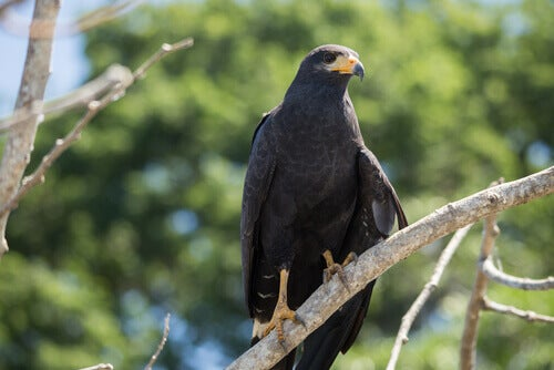 The black falcon is a medium-large falcon from Australia.