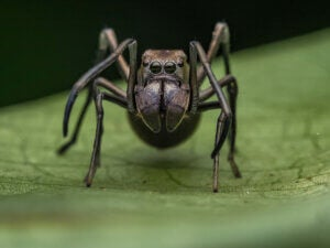 A black spider that looks like an ant.