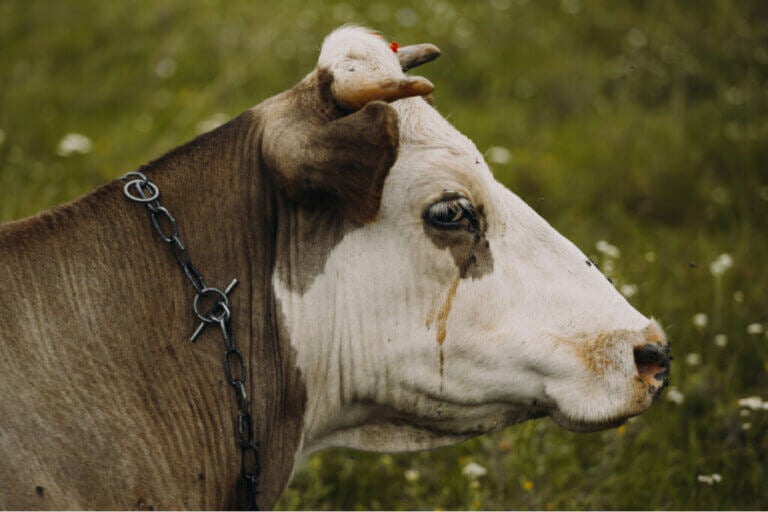 Bovine Sadness Complex: What Is It?