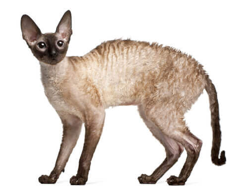 Cornish Rex cat with arched back.