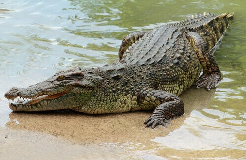 A crocodile emerging from the Nile.