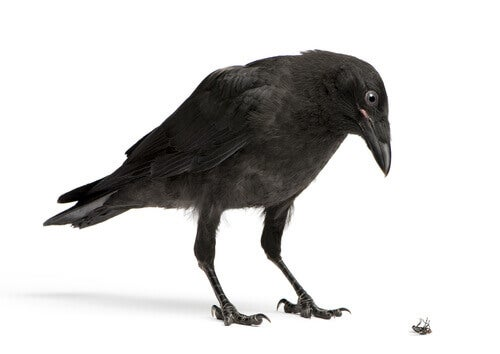 Crows steal.