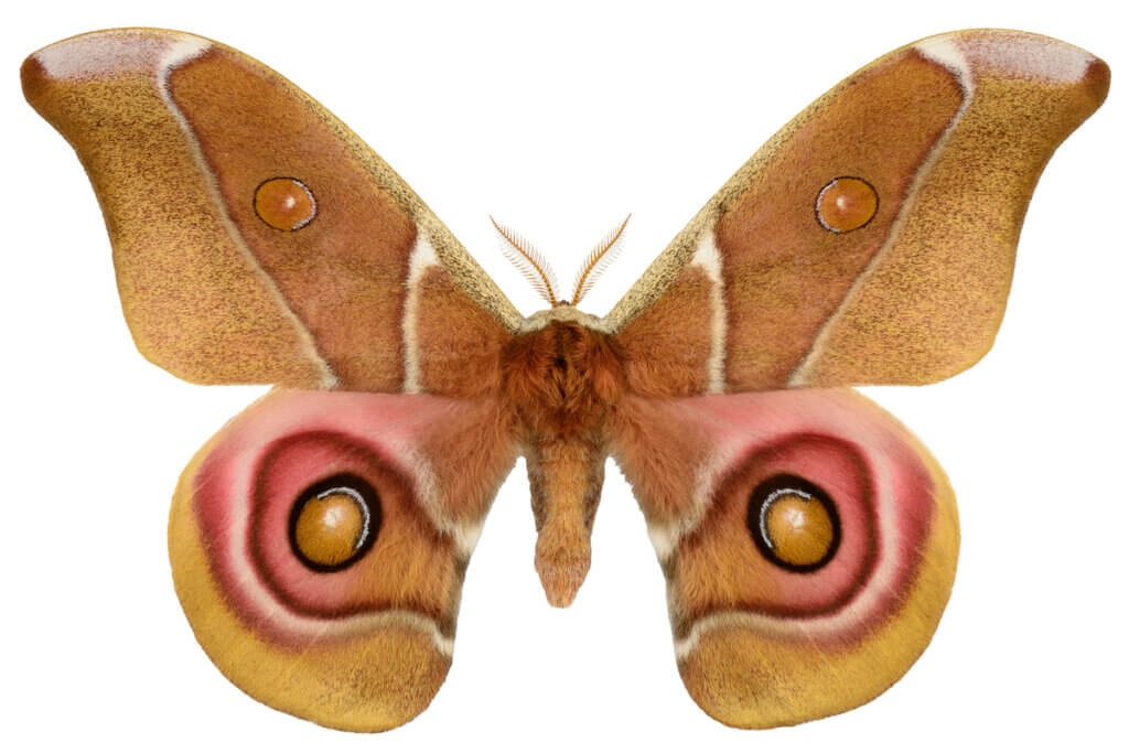 All About Deaf Moths and Acoustic Camouflage