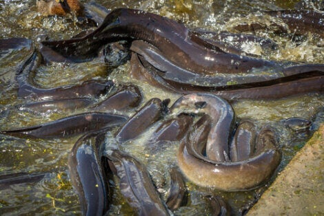 A group of electric eels in the Amazon river.