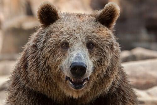 European brown bear: behavior.