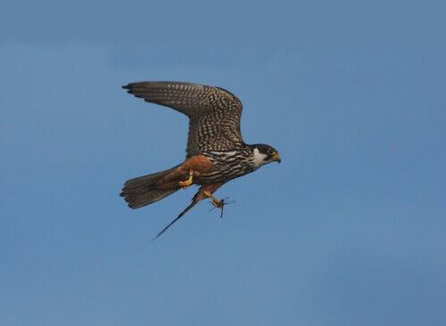 A Eurasian hobby in flight.