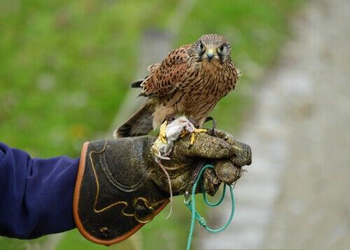 A falcon on a training glove.