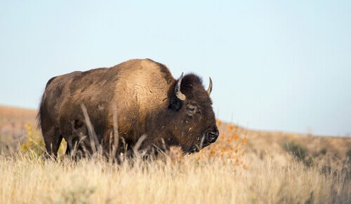 A buffalo in a field in Theodore Roosevelt National Park.