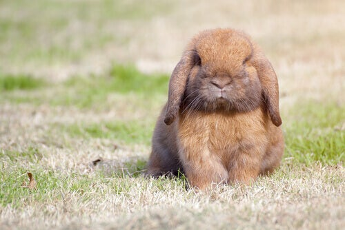 A pet rabbit outdoors.