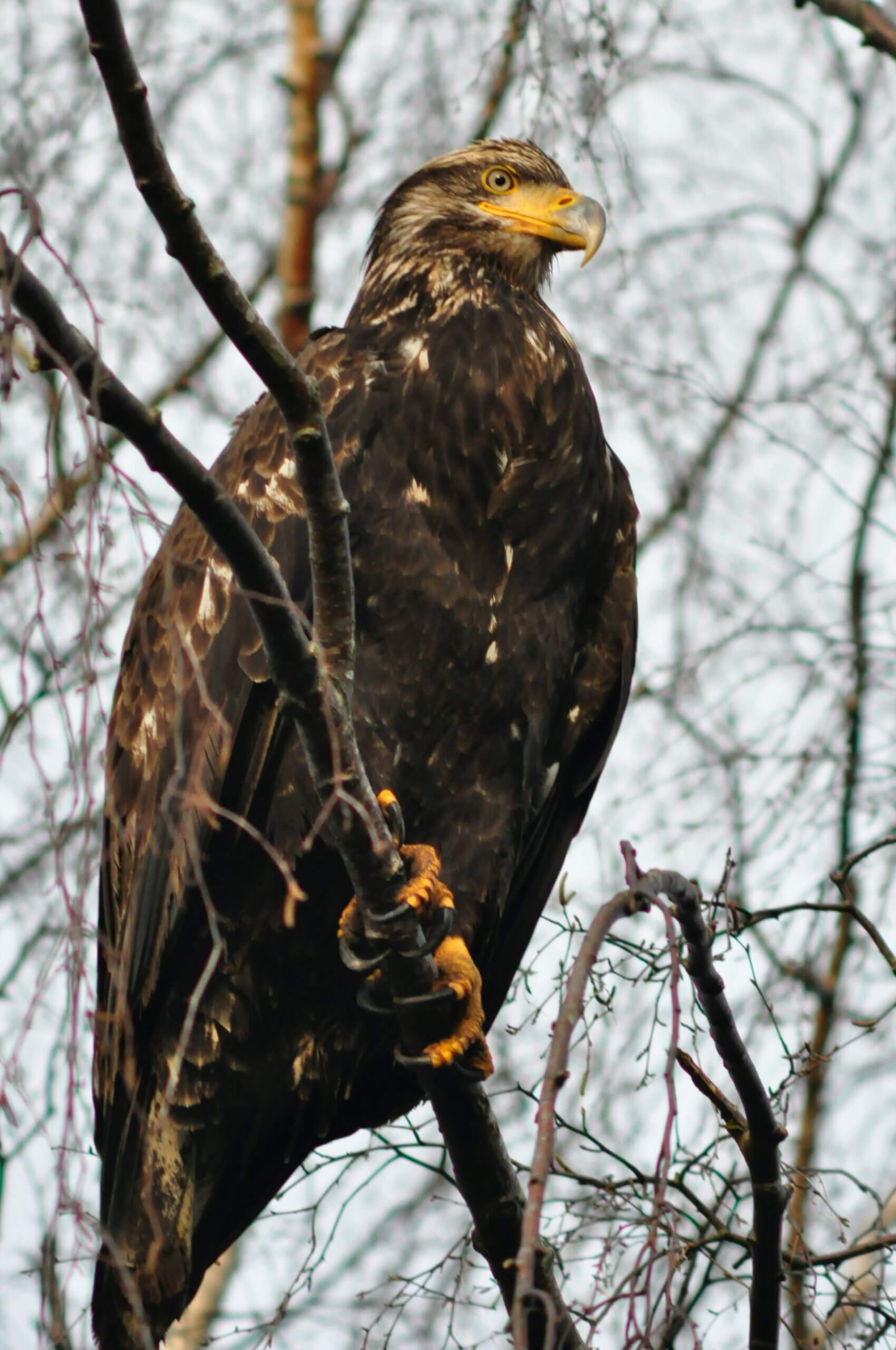 A Golden eagle in a tree.