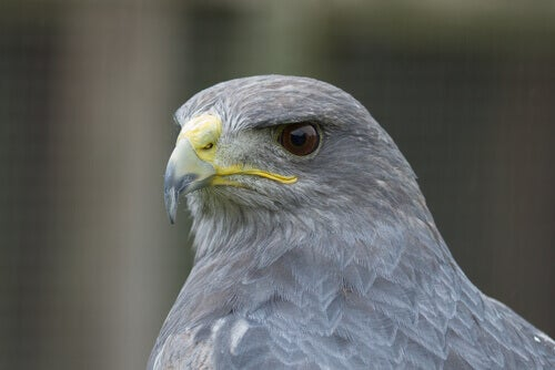 The grey falcon is endemic to Australia.