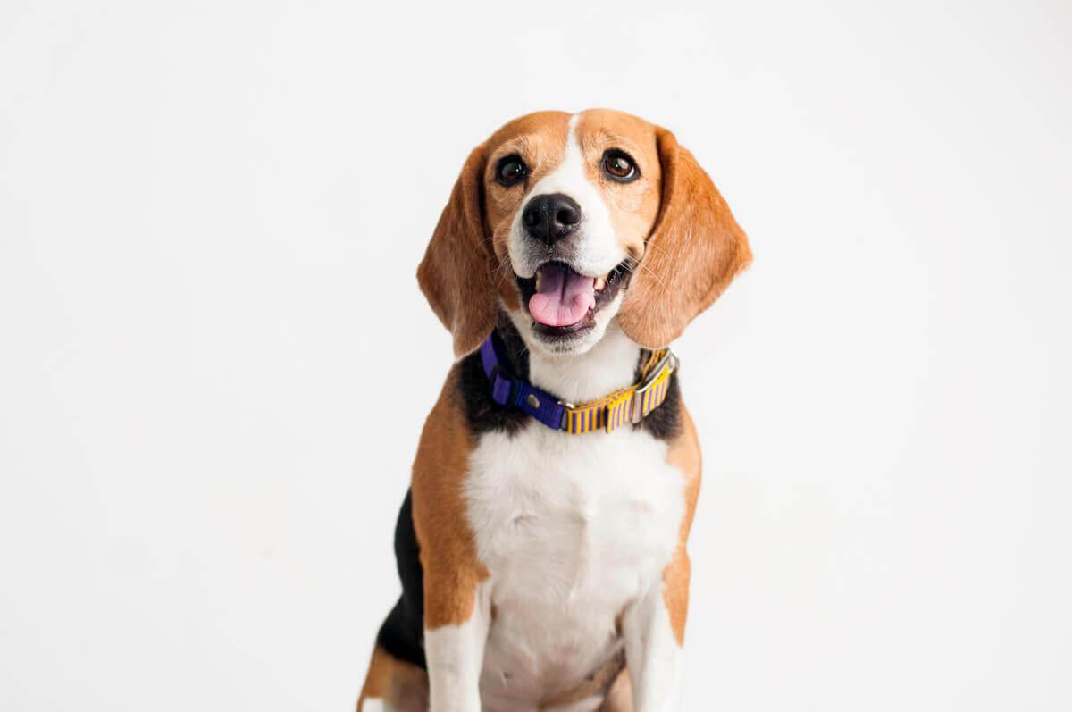 A happy beagle.