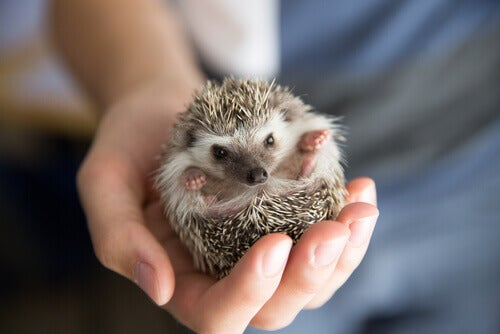 A hedgehog nestles in its owner's palm.
