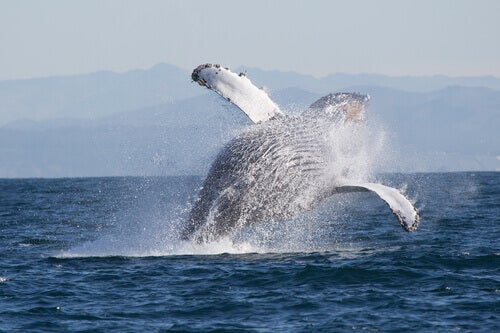 The humpback whale, one of the animals that live in Alaska.