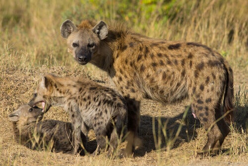 Two hyena cubs playing near their mother, who glares threateningly at the camera.