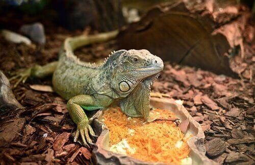 Fruit shouldn't exceed 15% of the iguana's diet.