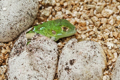 The life cycle of iguanas--a baby hatching.