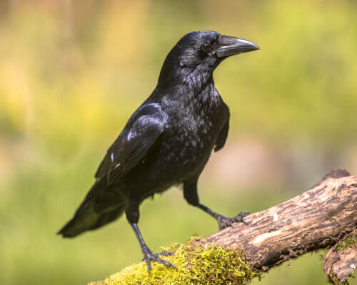 The Intelligence of Crows