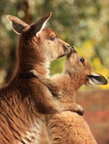 A kangaroo with its joey.