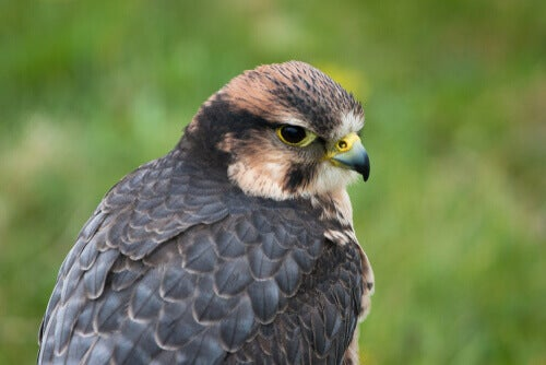 Bird of prey that breeds mainly in Africa.