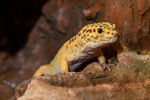 A yellow leopard gecko.