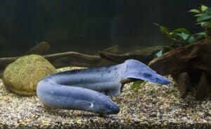 A Lepidosiren paradoxa in a fish tank.