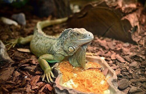 Life Cycle of Iguanas: Their Behavior and Habits
