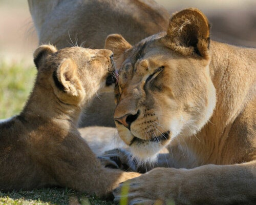 Lionesses' Maternal Instinct