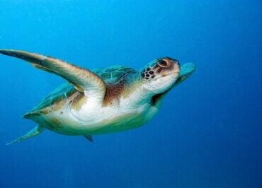 The Incredible Sense of Direction of the Loggerhead Sea Turtle