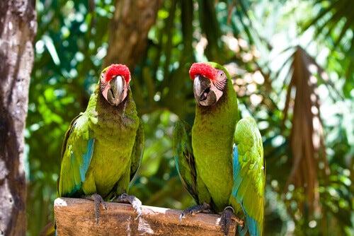 Two militari macaws.
