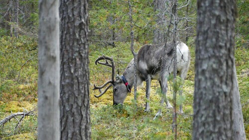 A deer in the virgin boreal forest.