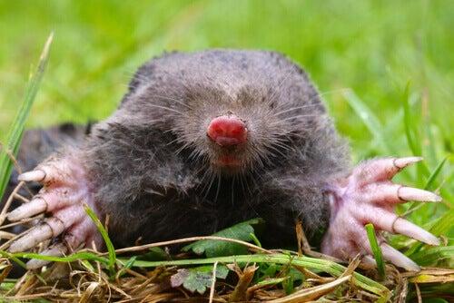 The European mole.