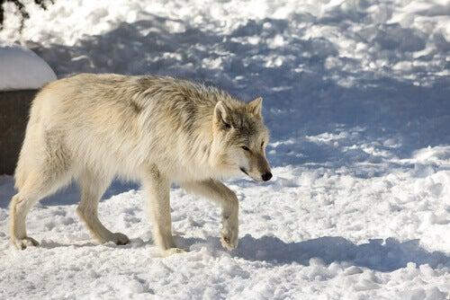 The Northwestern wolf.