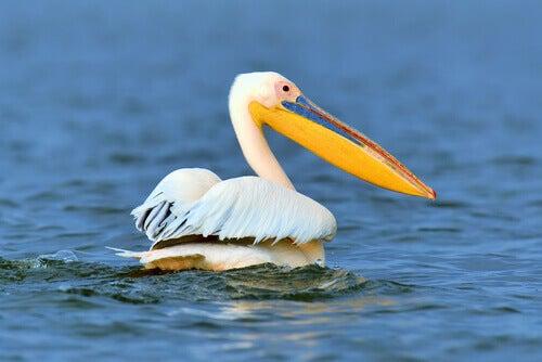 A pelican in a lake.