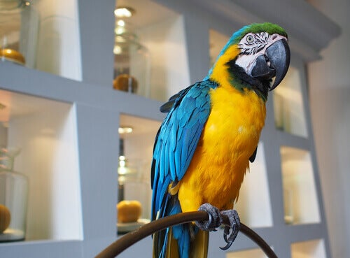 A parrot's behavior while posing for the camera.