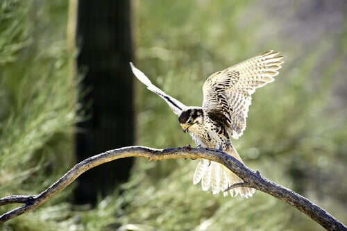 The prairie falcon lives in northwestern America.