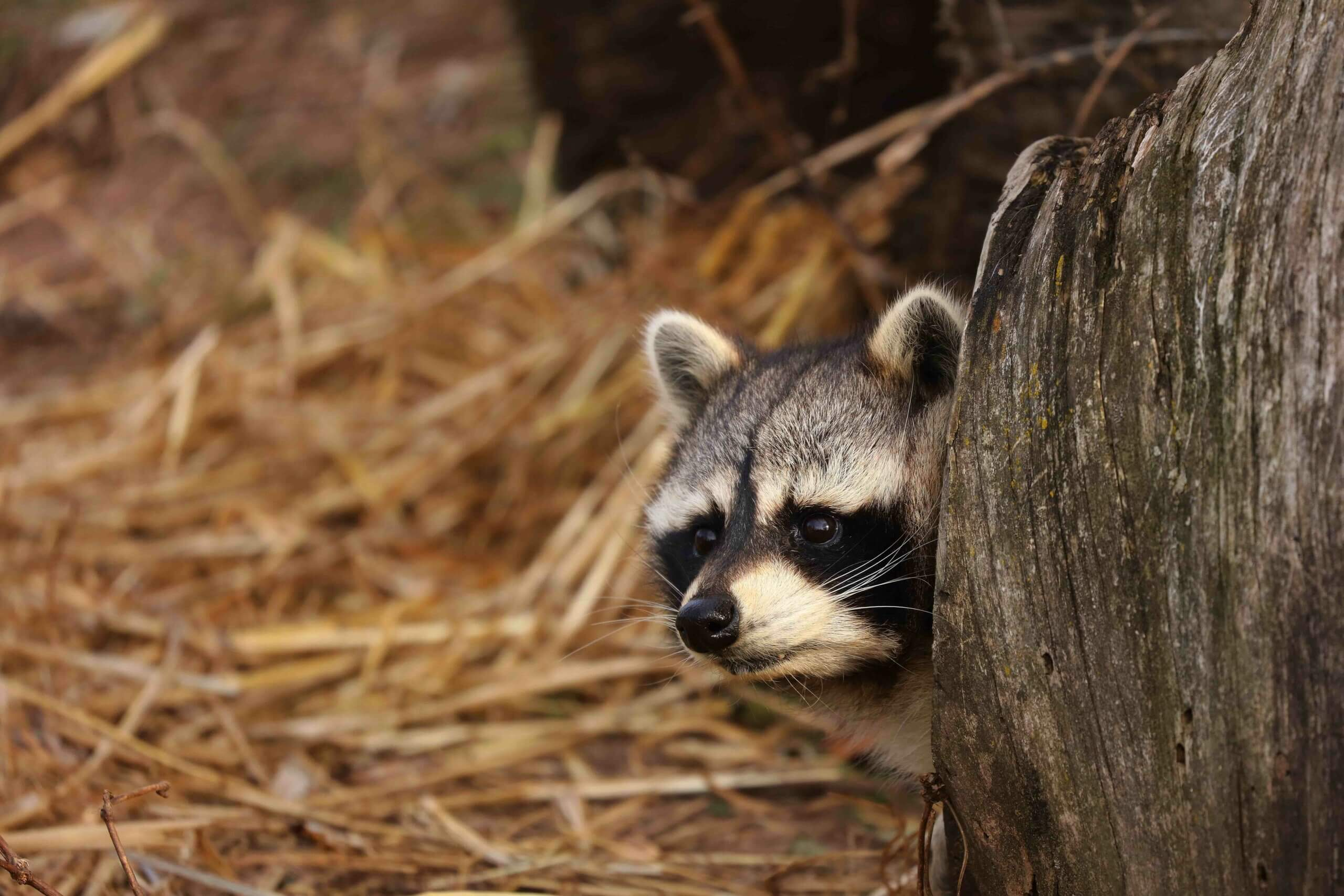 A racoon peeking out from behind a tree stump.