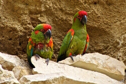 Two red dotted macaws.