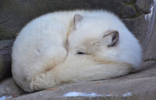 A sleeping polar fox.
