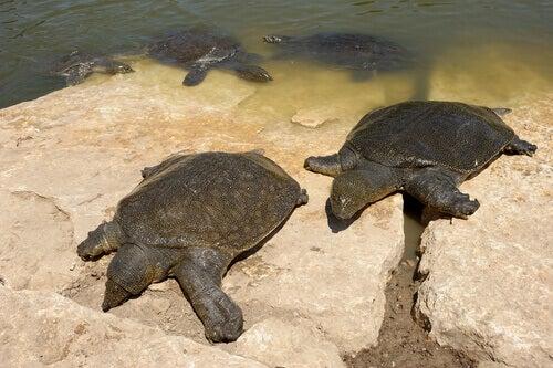 Two African softshell turtles taking a sunbath.