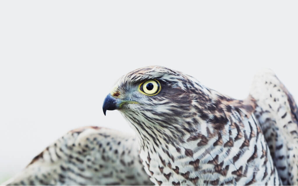 4 Interesting Facts About the Eurasian Sparrowhawk