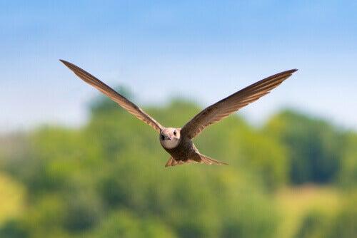 Swift: habitat.