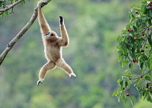 Discover the Gibbon: Lesser Apes of Asia