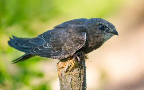 Little Swift: The Fastest Bird