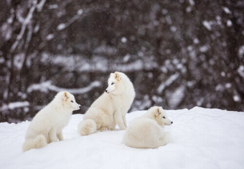 Three polar foxes in the snow.